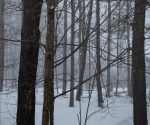 trees in a snowstorm