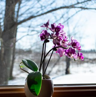 purple orchid on wood windowsill in winter