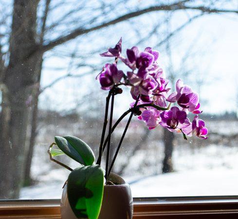 purple orchid on wood windowsill in winter