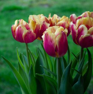 yellow and pink tulips in the grass