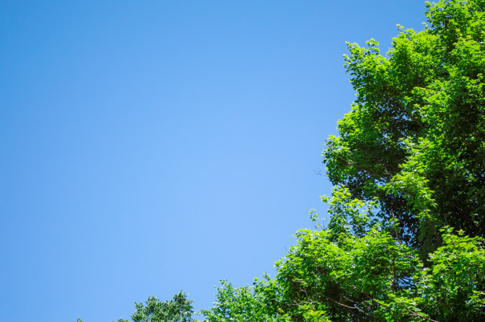 looking up at a blue sky with a green oak tree